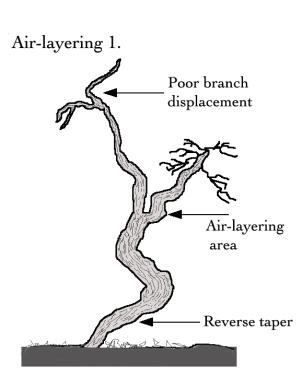 Air layering 1