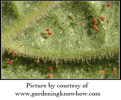 spider-mites1-400x266