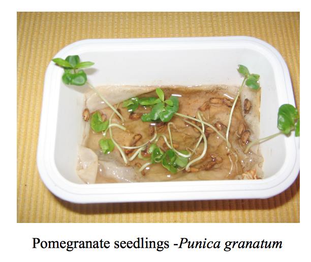 pomegranate-seedlings