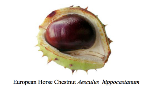 common-horse-chestnut