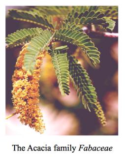 the-acacia