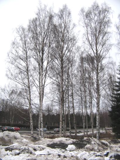 Birch wood winter