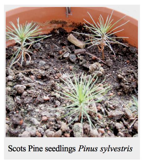 Scots Pine seedlings Pinus sylvestris