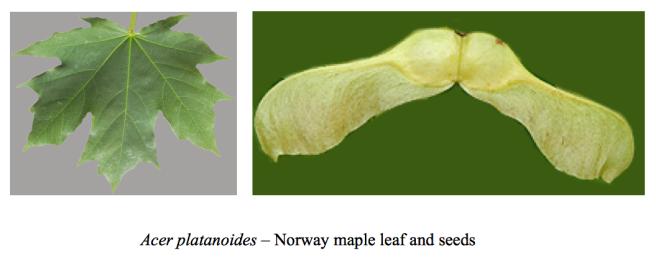 Acer platanoides leaf & seeds