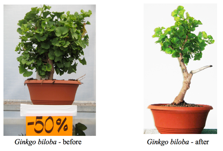 Ginkgo before and after