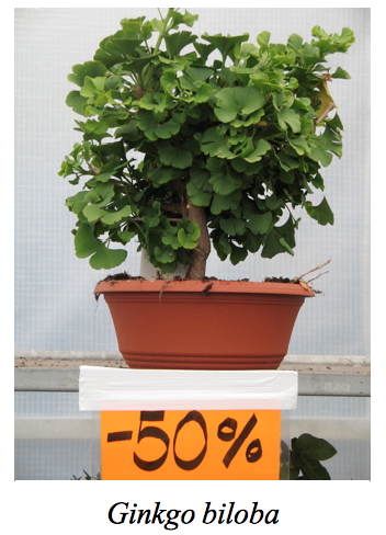 Ginkgo on sale