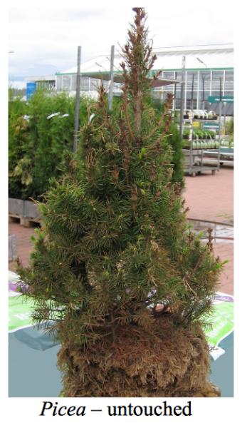 Picea untouched