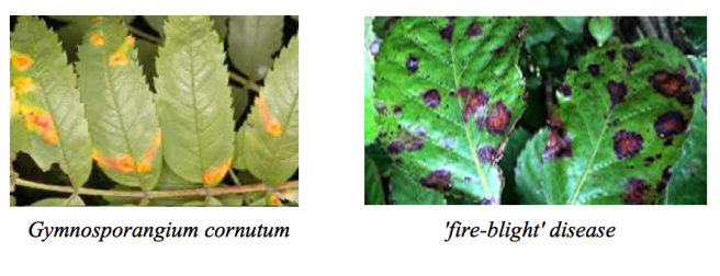 Fire blight disease