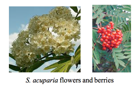 Sorbus flowers and berries