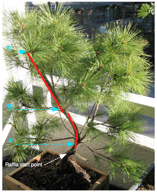 Monteray pine 2